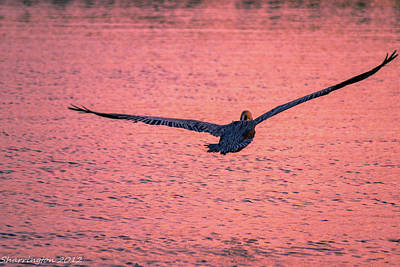 Photograph - Large Wing Span by Shannon Harrington