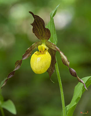 Photograph - Large Yellow Lady Slipper Orchid Dspf0251 by Gerry Gantt