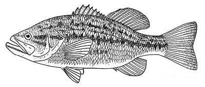 Largemouth Photograph - Largemouth Bass by Granger
