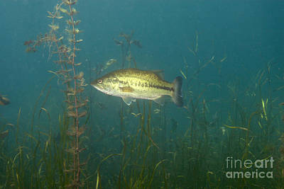 Largemouth Photograph - Largemouth Bass Micropterus Salmoides by Ted Kinsman