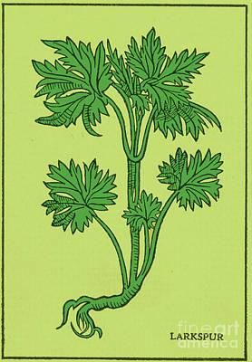 Photograph - Larkspur, Alchemy Plant by Science Source