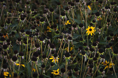 Last Blooms Of A Garden Patch Of Black-eyed Susans Print by Maria Mosolova