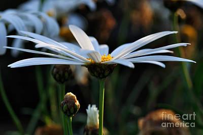 Daisy Bud Photograph - Last Glimpse Of Sunshine by Kaye Menner