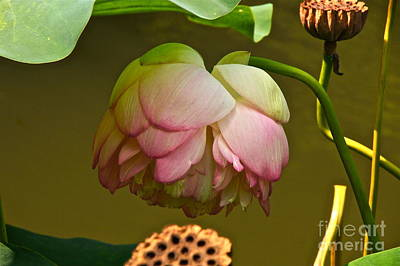 Photograph - Last Of The Lotuses by Byron Varvarigos