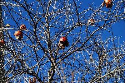 Photograph - Last Pomegranates On A Tree  by Alexandra Jordankova