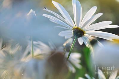 Daisy Bud Photograph - Late Sunshine On Daisies by Kaye Menner