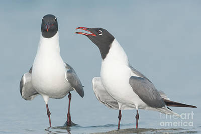 Photograph - Laughing Gulls Courting by Clarence Holmes