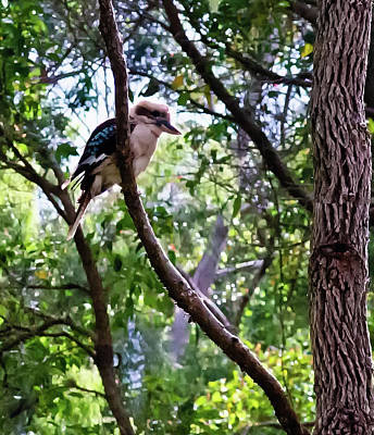 Photograph - Laughing Kookaburra by Harry Strharsky