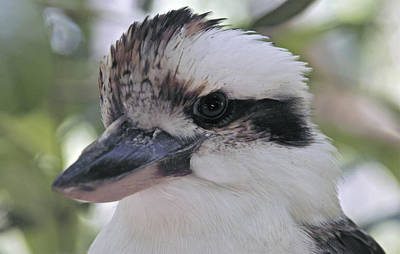 Photograph - Laughing Kookaburra by Jocelyn Kahawai