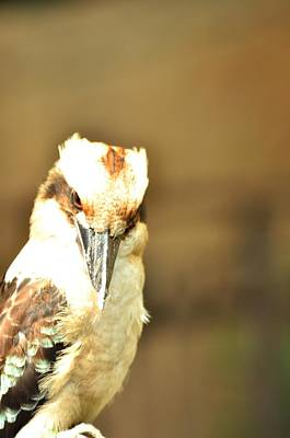 Photograph - Laughing Kookaburra by Puzzles Shum