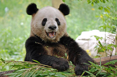 Photograph - Laughing Panda by Harvey Barrison