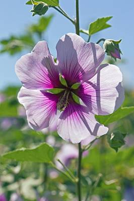 Lavatera Flowers Photograph - Lavatera Maritima by Dr Keith Wheeler