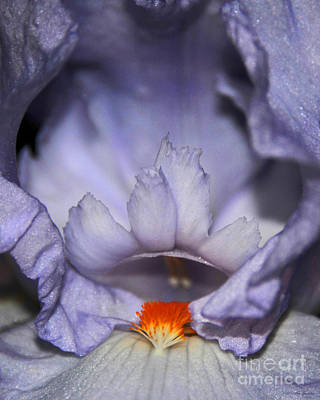 Photograph - Lavendar And White Eye Of The Iris Floral by Nature Scapes Fine Art