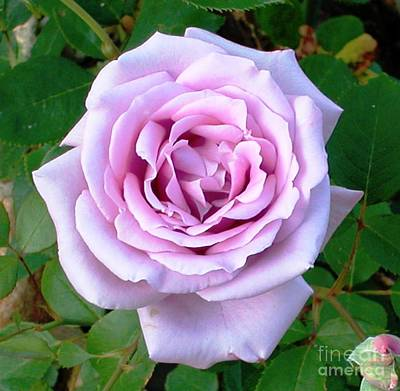 Art Print featuring the photograph Lavendar Rose by Alys Caviness-Gober