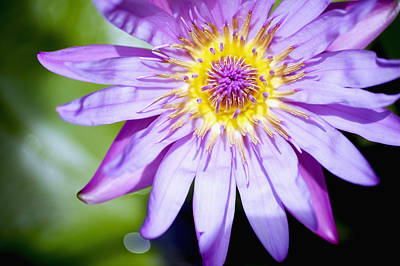 Lavendar Water Lily Art Print by Kicka Witte