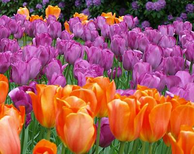 Lavender And Orange Tulips Art Print by Larry Krussel