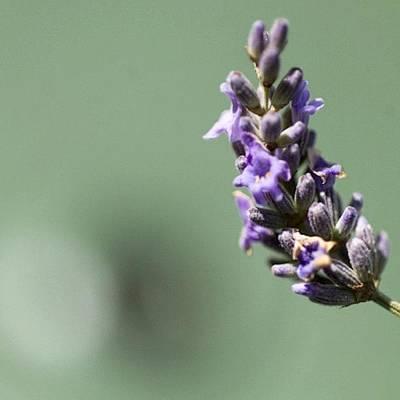 #lavender Art Print