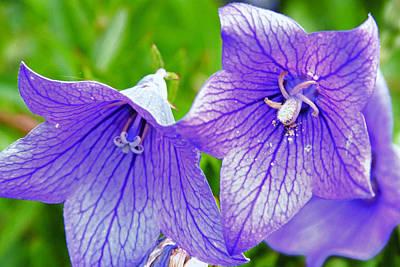 Keith Richards - Lavender Bells by Lynne Jenkins