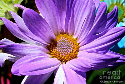 Photograph - Lavender Daisy by Susan Herber