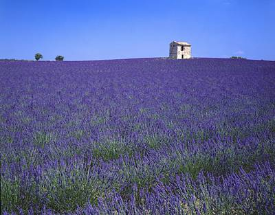 Lavender Field In Southern France Art Print