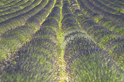 Lavender Field Art Print by Yves ANDRE