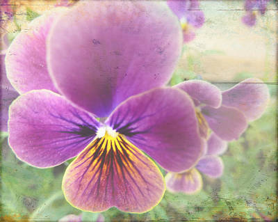 Johnny Jump Up Pansy Photograph - Lavender Johnny Jump Up by Cindy Wright