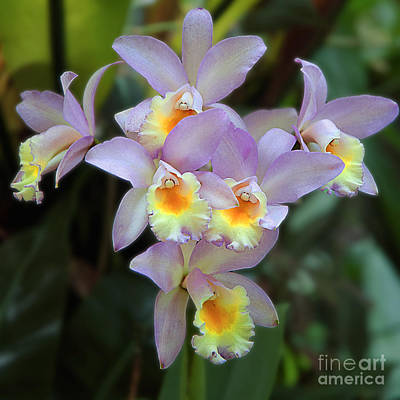 Photograph - Lavender Orchids by Herb Paynter