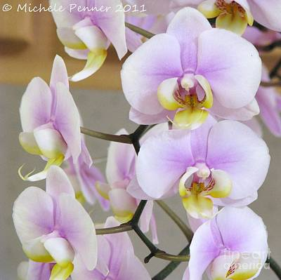 Photograph - Lavender Phalaenaopsis by Michele Penner