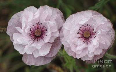 Photograph - Lavender Poppies by Michele Penner