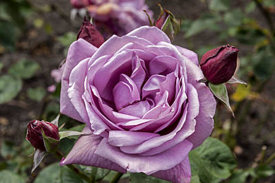 Photograph - Lavender Rose by Anthony Citro