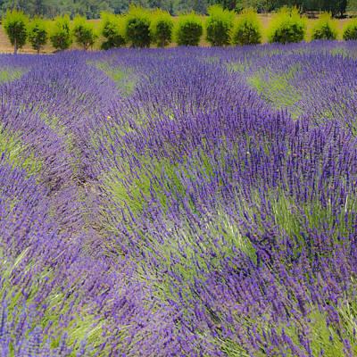 Lavender3 Art Print by Ryan Weddle