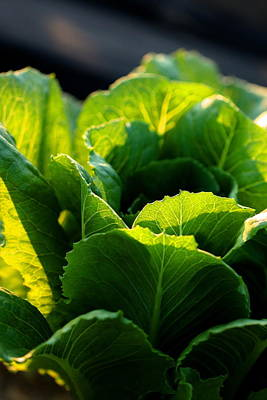 Photograph - Layers Of Romaine - Vertical by Angela Rath