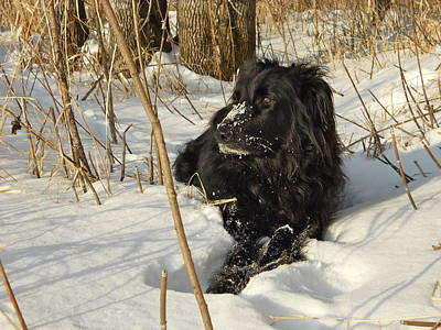 Photograph - Laying In The Snow by Kent Lorentzen