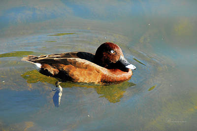 Photograph - Lazy Duck Days by Georgiana Romanovna