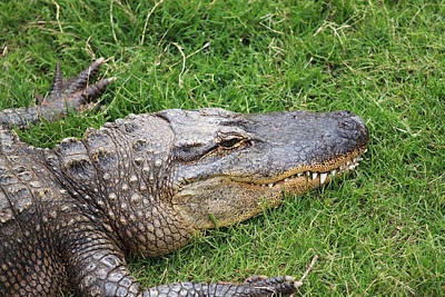 Reptiles Royalty-Free and Rights-Managed Images - Lazy Gator by Ricky Barnard