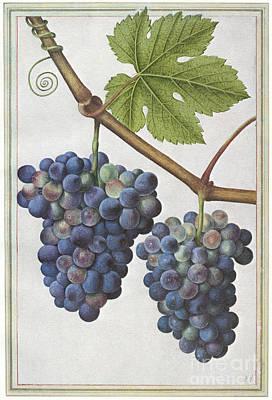 Photograph - Le Moyne: Grape Vine, C1585 by Granger