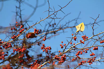 Photograph - Leaf Among Thorns by Alycia Christine