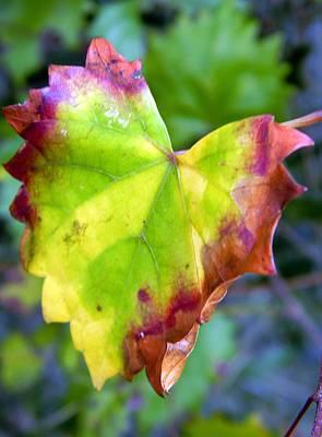Leaf Curl Original