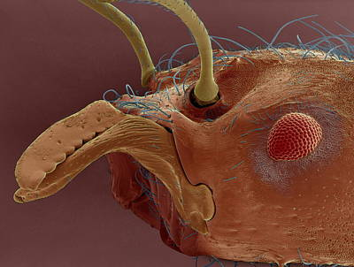 Leaf-cutter Ant Photograph - Leaf Cutter Ant, Sem by Steve Gschmeissner