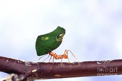 Leaf-cutter Ant  - Leaf-cutting Ant With Leaf by Science Source