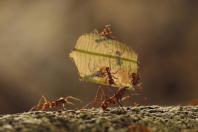 Atta Photograph - Leafcutter Ant Atta Sp Group Carrying by Cyril Ruoso