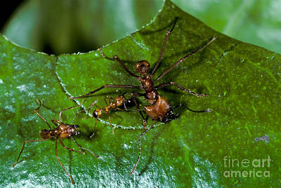 Leaf-cutter Ant Photograph - Leafcutter Ants Cutting Leaf by Greg Dimijian