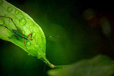 Photograph - Leafhopper 3 by David Weeks