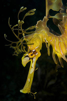 Leafy Sea Dragon Photograph - Leafy Sea Dragon by Matthew Oldfield