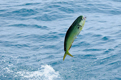 Photograph - Leaping Mahi by Bradford Martin