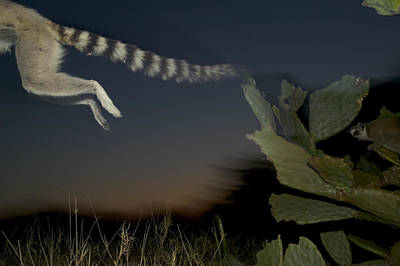Leaping Ring-tailed Lemur  Art Print by Cyril Ruoso