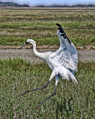 Photograph - Leaping Whooping Crane by Gregory Scott