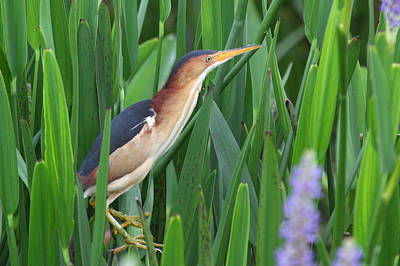 Least Bittern Art Print by Jennifer Zelik