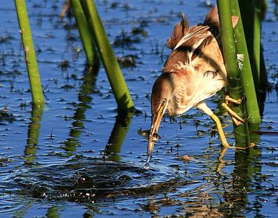 Photograph - Least Bittern With A Molly by Ira Runyan