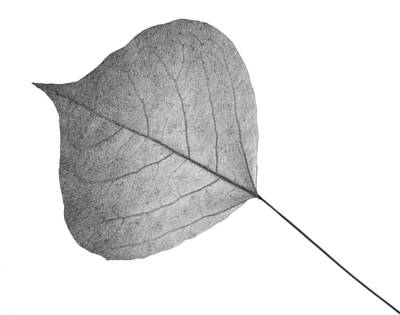 Photograph - Leaves Eleven  by Ken Frischkorn